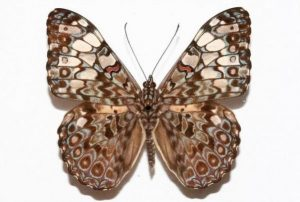 The Feronia butterfly