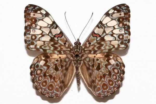 The Feronia butterfly